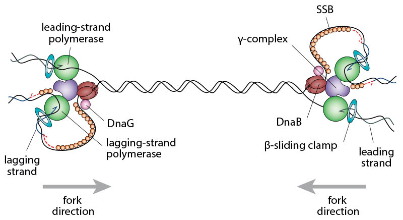 Schematic illustrating the complexity of two replication forks converging opposite the origin. In order to complete chromosomal replication the DNA between the replisomes has to be fully replicated.