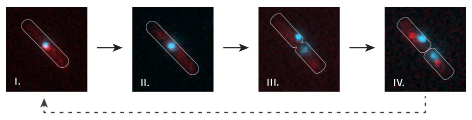 Time lapse visualisation of replication fork dynamics and terminus segregation in *E. coli*. The terminus region of the chromosome (cyan; visualised by lac repressor-fluorescent fusion proteins bound to *lac* operators) co-localises with replication forks (red focus) as it is replicated (i). All forks are disassembled at the termination area (ii – the red focus disappears) prior to chromosome segregation (iii – two cyan labelled termini appear). New replication forks are subsequently assembled (iv – a red focus in each of the daughter cells).